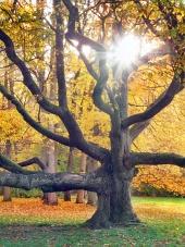 Enorme árbol y el sol en el otoño