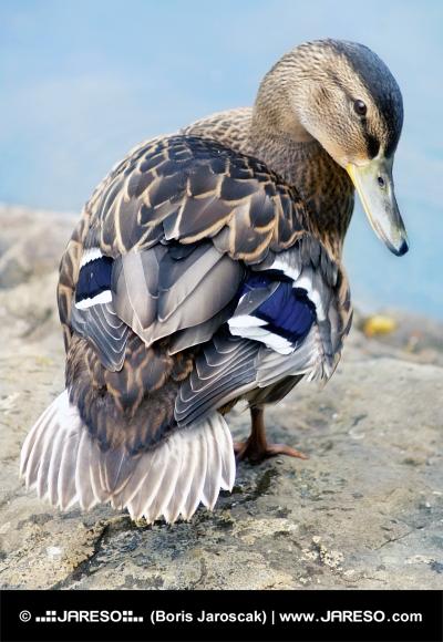 Le canard colvert femelle