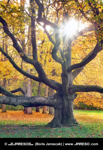 Arbre énorme et le soleil en automne