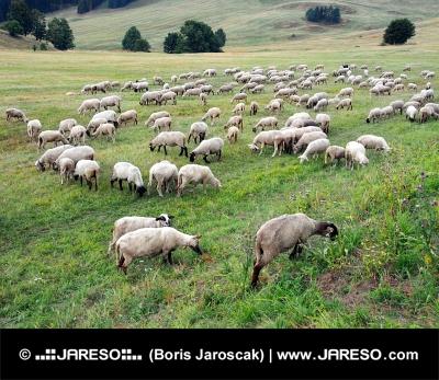 Le pâturage des moutons sur le pré slovaque