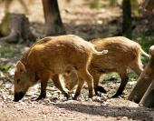 Porcs sauvages dans la forêt