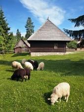 Les moutons près de la maison populaire dans Pribylina