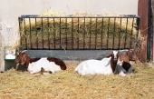 Les chèvres dans un enclos