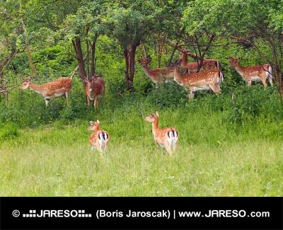 हरी घास का मैदान पर परती हिरणों के झुंड