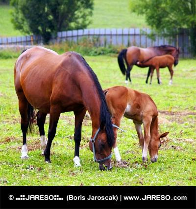 घास का मैदान पर उनके युवा foals साथ mares