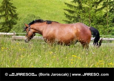 घोड़ा