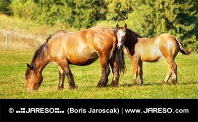 जंगल के पास घास का मैदान में घोड़ी और घोड़े का बच्चा चराई