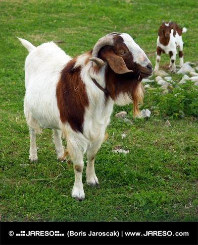 माउंटेन बकरी