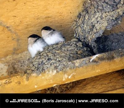 घोंसले में दो पक्षियों