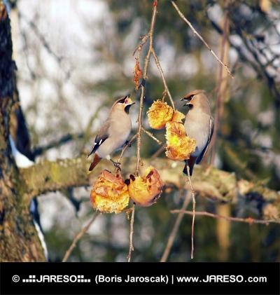 फल पर खिला छोटे पक्षियों