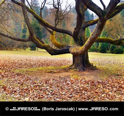 Turcianska Stiavnicka, स्लोवाकिया में बड़े पैमाने पर पेड़