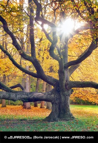 शरद ऋतु में विशाल वृक्ष और सूरज