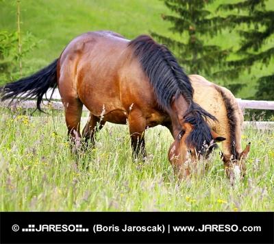 घोड़ी और एक साथ बछेड़ा चराई