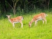 हरी घास का मैदान पर दो परती हिरणों