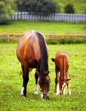 एक चमकीले हरे चारागाह में घोड़ी और घोड़े का बच्चा चराई