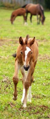 युवा बछेड़ा चल रहा है और पृष्ठभूमि में अन्य घोड़ों चराई