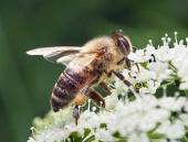 मधुमक्खी क्लोज अप