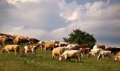 एक बादल शरद ऋतु दिन के दौरान घास का मैदान पर गायों