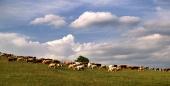 बादल दिन पर घास का मैदान पर गायों का झुंड