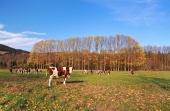 शरद ऋतु में मैदान पर गायों