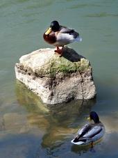 झील में बतख