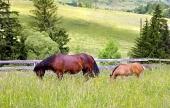 ग्रामीण इलाकों में घोड़ी और घोड़े का बच्चा चराई
