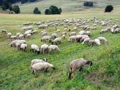 स्लोवाक घास का मैदान पर भेड़ चराई