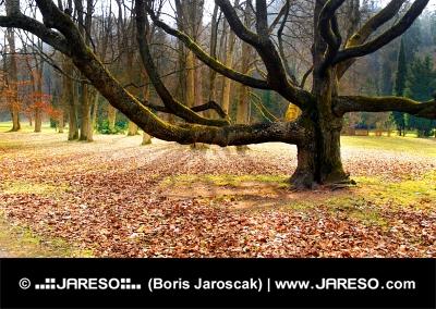 Öreg fa a parkban