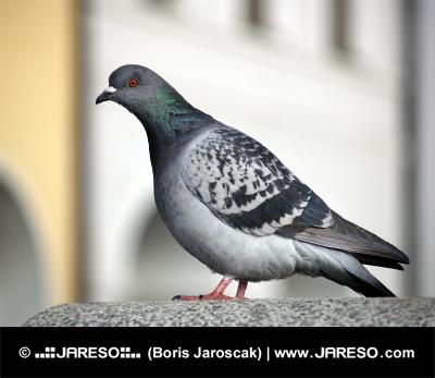 Rock Dove vagy a közös Pigeon