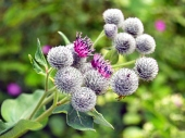 Thistle virágok és zöld háttér