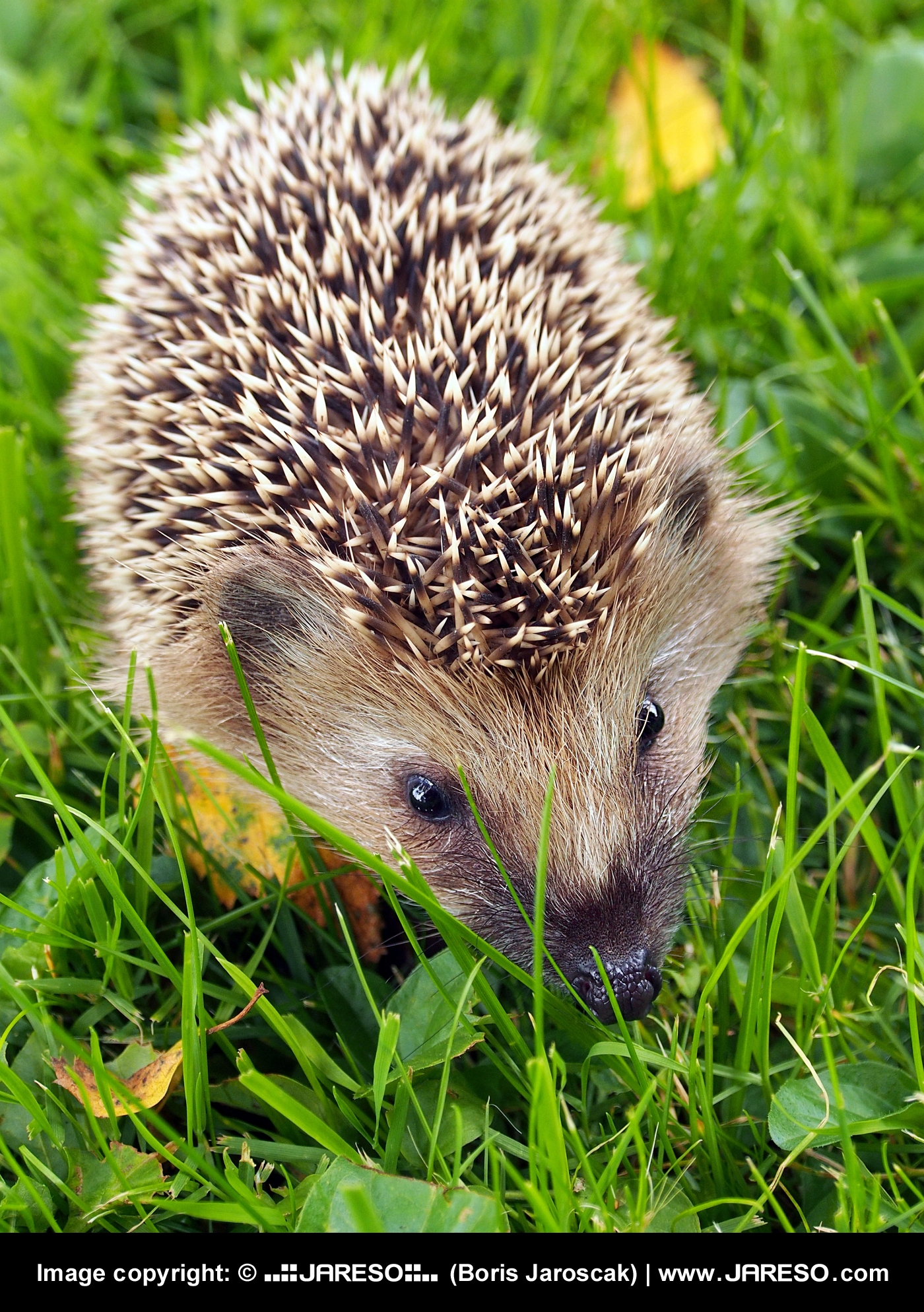 web_gplus_fb_animal_hedgehog_meadow_leafs_summer_p8300878x_3.jpg