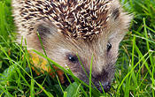 I am happy that we have hedgehogs in our garden again this summer!