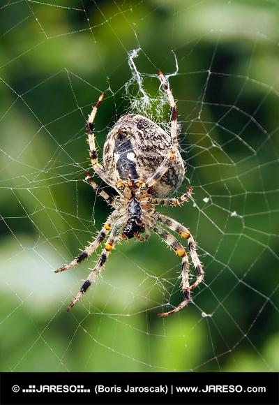 Un primo piano di un ragno tesse la sua tela