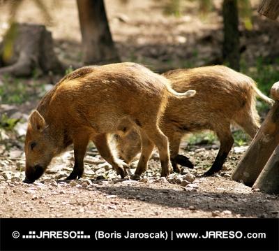 Suini selvatici nella foresta