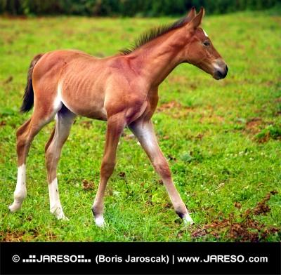 Cavallo giovane in esecuzione