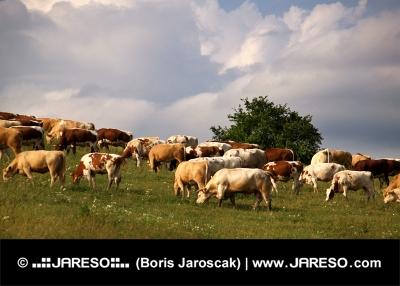 Mucche sul prato nel corso di una giornata d'autunno nuvoloso