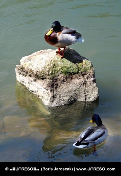 Anatre nel lago