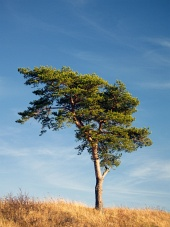Singolo albero di conifere in un campo giallo su sfondo blu