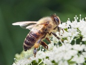 Bee primo piano