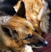 Ritratto di cane pastore tedesco