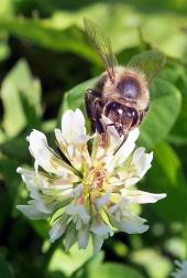 Bee fiore impollinazione