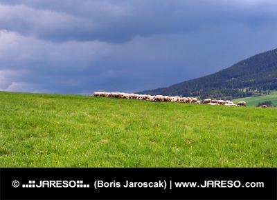嵐の前の牧草地に羊の群れ