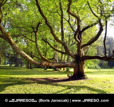 公園で非常に古い木