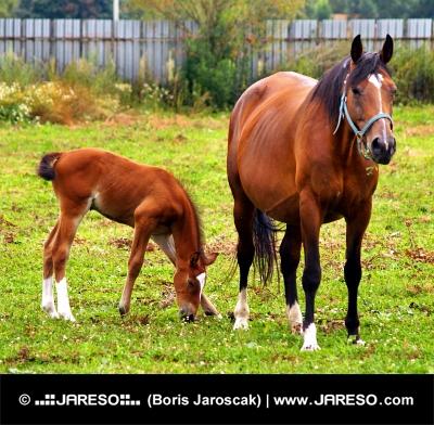 フィールドにマーレと若い子馬の放牧
