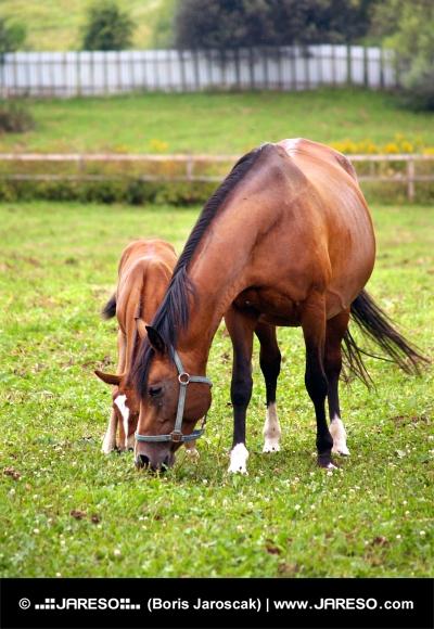 緑色のパドックで放牧馬と子馬