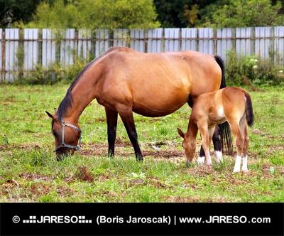 緑色のパドックでマーレと子馬の放牧
