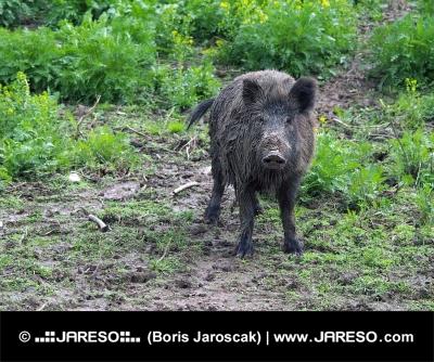 野生の豚やイノシシ