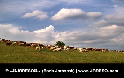 曇りの日の牧草地で牛の群れ