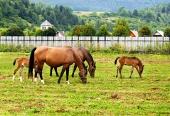 村の近くの牧草地で彼らの若い馬の放牧を持つ2つの牝馬