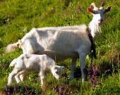 牧草地で子供と一緒に白ヤギ